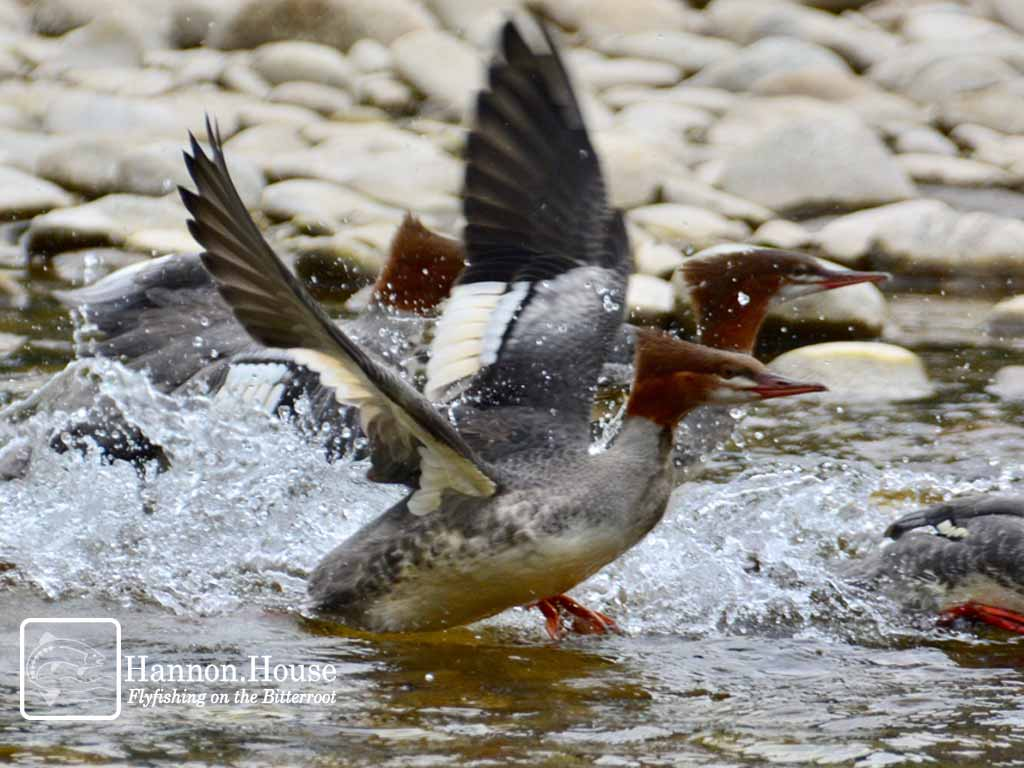 Mergansers on the wing